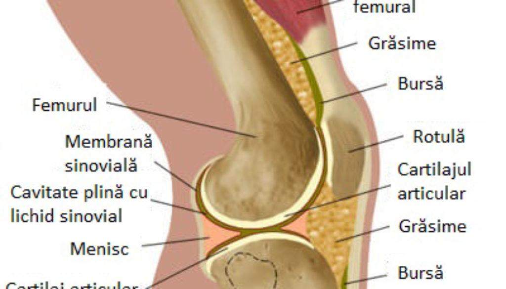 anatomie-genunchi sigle